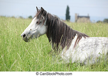aardig, grijze , vellen, pony, merrie, liegen beneden