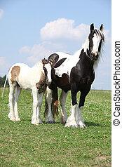 aardig, ierse , maïskolf, merrie, met, foal