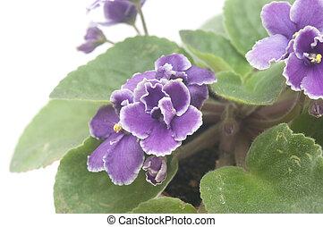 aardig, violet bloem, vrijstaand, op wit, achtergrond