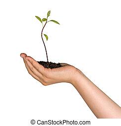 abacate, árvore, seedling, em, mão, como, um, presente, de, agricultura