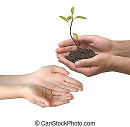 abacate, sapling, como, um, presente, de, agricultura