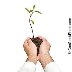 abacate, sapling, em, mãos, como, um, presente, de, agricultura