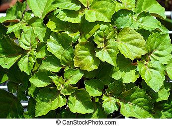 abajo, mirar, planta, hojas, patchouli