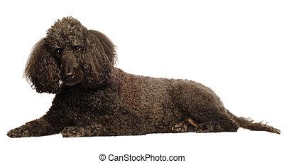 abajo, poodle estándar, acostado, 3º edad