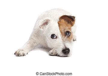 abajo, terrier, gato, acostado, russell