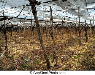 Abandoned grapefields in Turi countryside. Apulia.