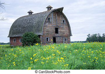 Abandoned stable in a middle of canola flowering field