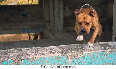 abandonnés, américain, chien, fenêtre, terrier, sauts, staffordshire, race, bâtiment., dehors
