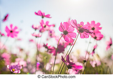 Abatract.Sweet color cosmos flowers in bokeh texture soft blur for background with pastel vintage retro style.
