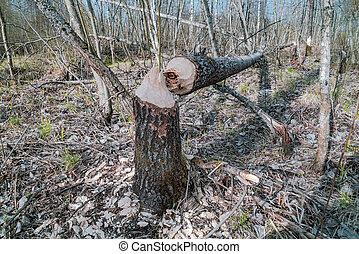 abattre, castors, gnawed, arbre, printemps