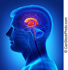 abbildung, übertragung, koerperbau, mann, medizin, ventrikel, gehirn, 3d