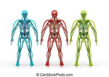 abbildung, menschliche , röntgenaufnahme, koerper