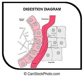 abdominal, digestión, tejido, diagrama