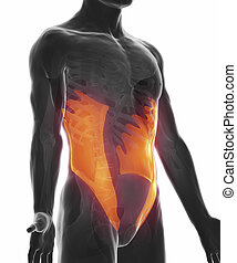 abdominal, oblique, -, isolé, anatomie, externe, muscle