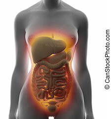 Abdominal organs - real view female anatomy concept