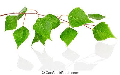 abedul, hojas, aislado, blanco, fondo.