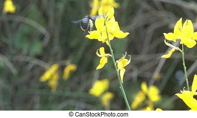 abeille charpentier