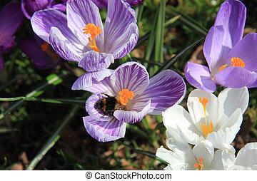 abeille, colchique