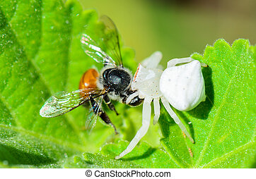 abeille, crabe spider, manger, blanc