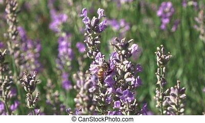 abeille, lent, vidéo, voler, gros plan, au-dessus, flowers...