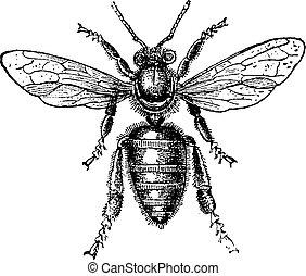 abeille ouvrier, vendange, engraving.