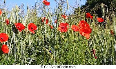 abeille, rhoeas, bourdon, fleur, papaver, rouges