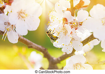 abeille, spring., nectar, espace, cerise, nature., (pollen), text., brouillé, lumières, sun., fond, collects, fleurs blanches, fleurir
