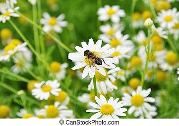 abeille, sur, les, camomille, fleur
