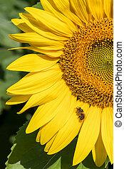 abeille, tournesol, séance
