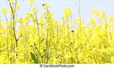abeilles, fleurs, jaune