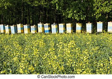 abeja, colmenas, entre, un, florecer, violación, campo