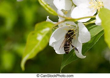 abeja, flor, primavera, solo