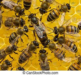 abejas, abeja, reina