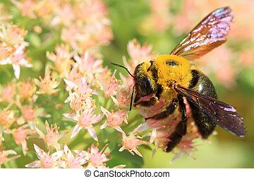 abejas, clase, de, insectos