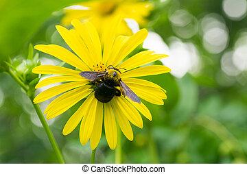 abelha carpinteiro, e, tetragonotheca