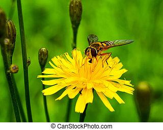 abelha, dandelion