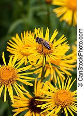 abelha doméstica, ligado, flor amarela