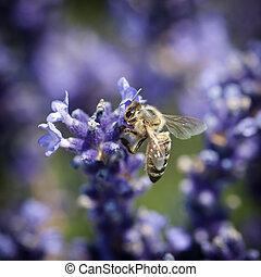 abelha, e, lavandula, flor