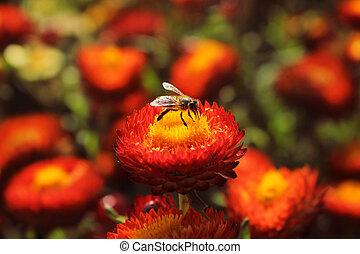 abelha mel, ligado, um, bonito, vermelho, helichrysum, flor