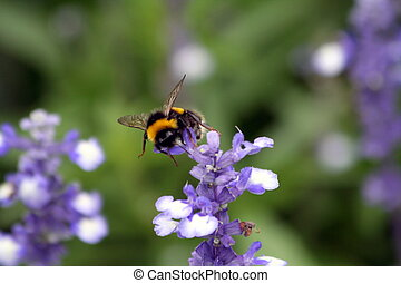abelha, sobre, cor campo alfazema