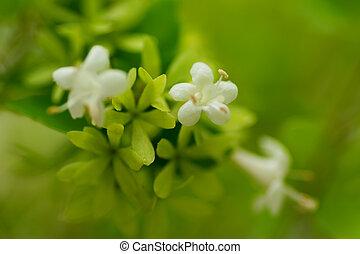 Abelia chinensis var. ionandra, Caprifoliaceae