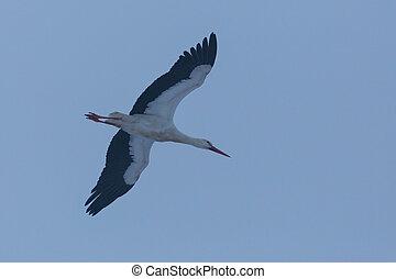 abend, (ciconia, fliegendes, storch, ciconia), weißes,...