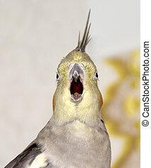 aberta, papagaio, bico