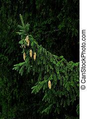 abete, ramo, scuro, fondo., verde, fresco