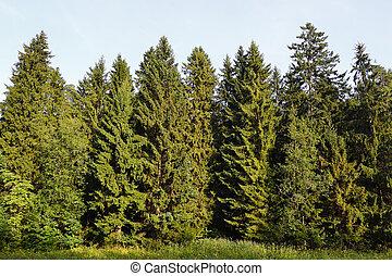 abete rosso, foresta