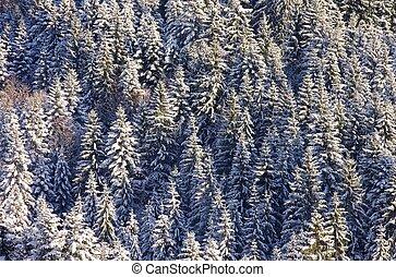 abete rosso, foresta, inverno
