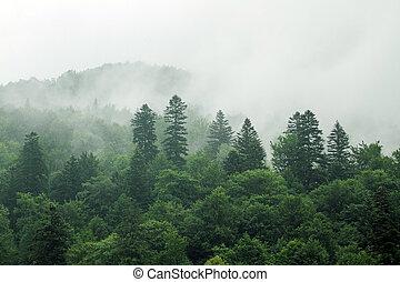 abete rosso, nebbia, albero, se