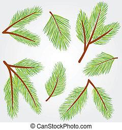 abete rosso, ramoscelli, illustrazione