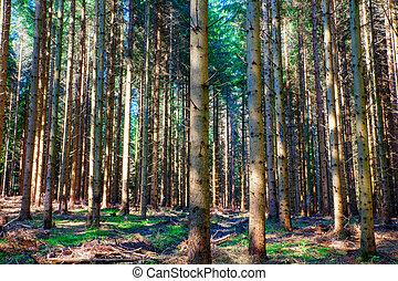 abete rosso, slovenia, foresta