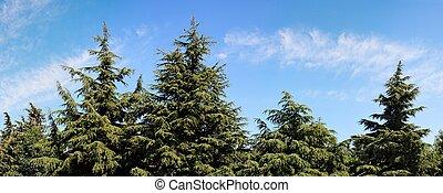 abeto - árboles, día, encima, cielo nublado, verano, ...